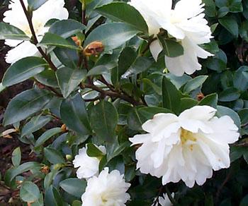 Arbustos con flores en maceta for Arbustos con flores
